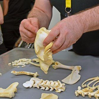 Dr. Robert Riesman examining dog bones