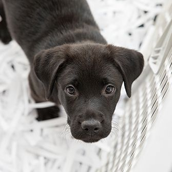 a black labrador puppy