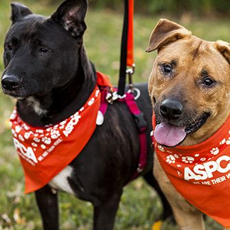 two dogs wearing aspca bandanas