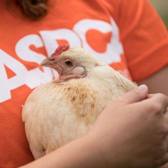 ASPCA volunteer holding a chicken