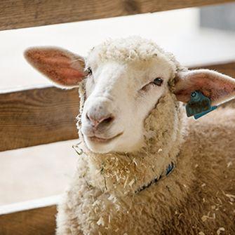 a sheep in a pen