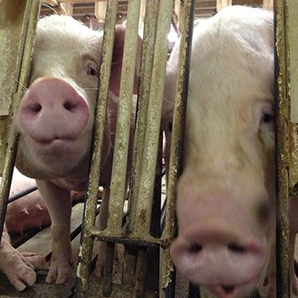 pigs in a dirty cramped cage