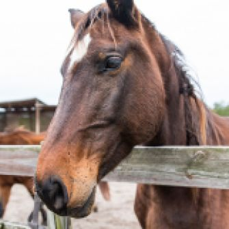 Congress: Stop the Slaughter of America's Horses