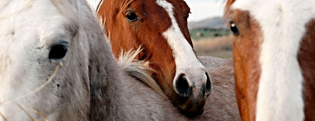 Horse Slaughter Is Not Euthanasia | Learn More | ASPCA