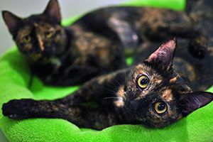 Two tortoiseshell cats lying on green cat bed