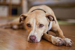 Dog laying on hardwood floor