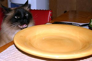 Cat sits at table in front of plate