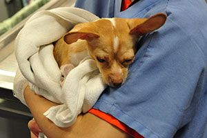 A Chihuahua is held by a vet tech