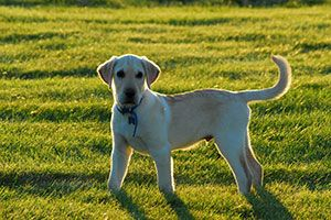 Yellow lab standing on the grass