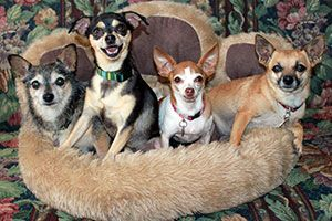 Four small dogs standing in a paw shaped dog bed