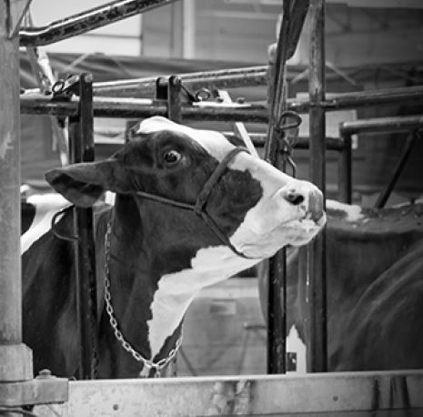 black and white cow in a factory farm