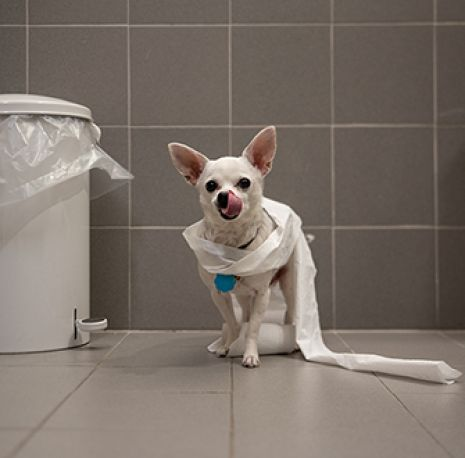 a white chihuahua wrapped in toilet paper