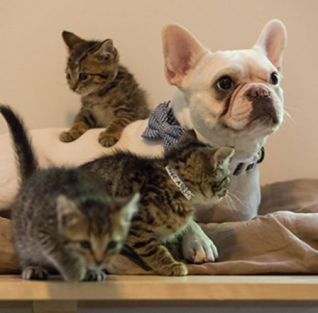french bulldog with kittens