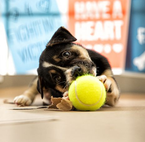 puppy and tennis ball