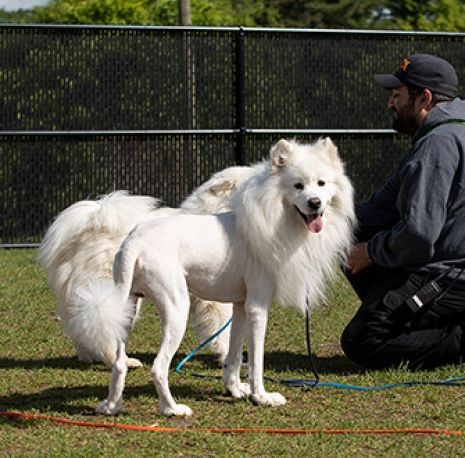 a shaved samoyed