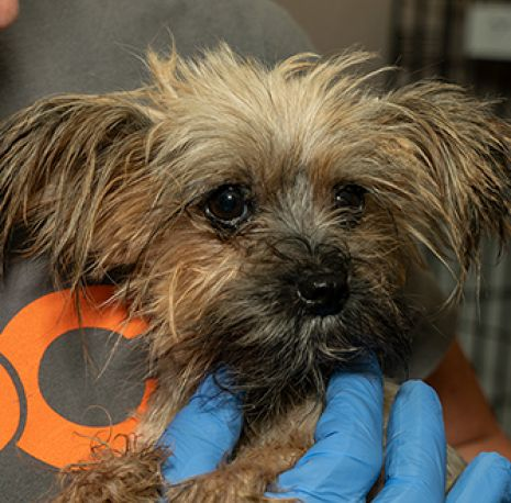 a yorkshire terrier being held