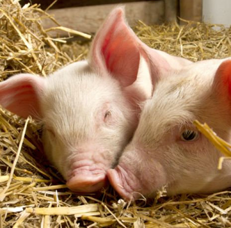 Pigs in straw