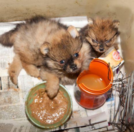 Puppy mill puppy