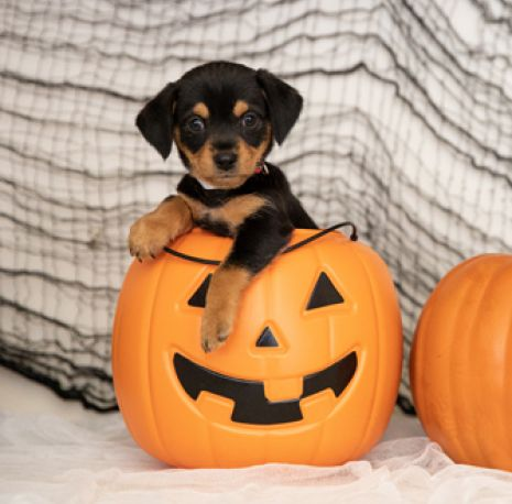 Puppy in jack-o-lantern