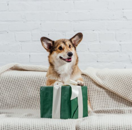 Corgi on box