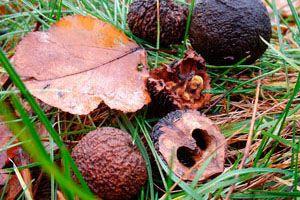 Black Walnut Aspca