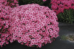Chrysanthemum Aspca