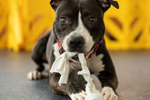a black and white pitbull chewing a rope