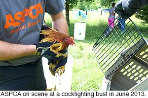 BREAKING: ASPCA Removes Animals from Cockfighting Case in Indiana