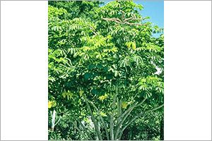 Australian Ivy Palm