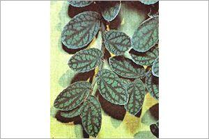 Begonia, Trailing