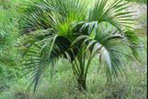 Belmore Sentry Palm