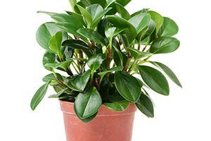 Blunt Leaf peperomia