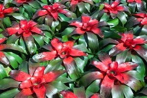 Blushing Bromeliad