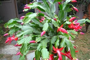 christmas cactus - Are Christmas Cactus Poisonous To Dogs