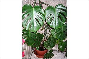 Cutleaf Philodendron