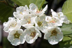 English Hawthorn