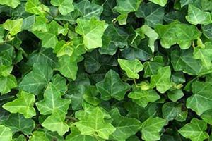 Is Ivy Toxic To Dogs Cats
