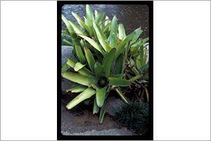 Fingernail Plant