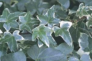 Glacier Ivy