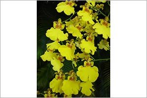 Golden Shower Orchid