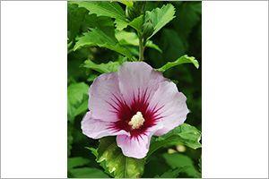 Hibiscus Aspca