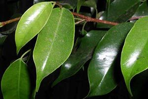 Indian Rubber Plant