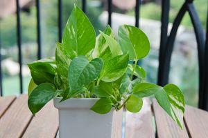 Ivy Arum