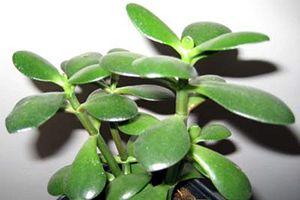 Jade Plant Aspca