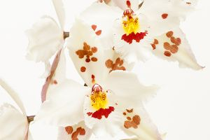 Lace Orchid