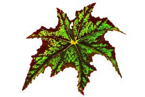 Mapleleaf Begonia