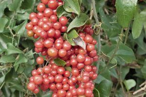 Mulberry Bush Greenbrier