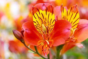 Peruvian Lily Aspca