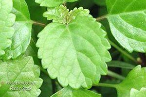 Swedish Ivy Aspca