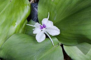 Resurrection Lily